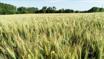 للعام الثالث ..  العراق يعلن تحقيق الاكتفاء الذاتي من القمح