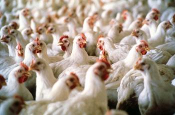 هنغاريا تطلب ذبّاحي دجاج أردنيين