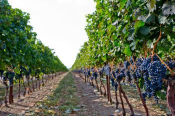 عجلون: ورشة توعوية عن تحسين محاصيل العنب والزيتون