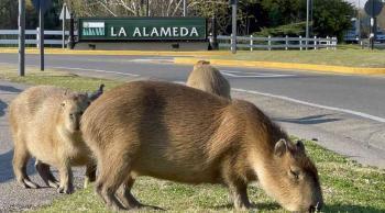 وزنه 80 كيلوجراماً ..  أكبر قوارض العالم يجتاح أحد أحياء عاصمة الأرجنتين