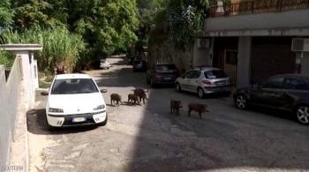 الخنازير البرية تغزو العاصمة الإيطالية روما (فيديو)