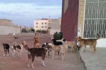 كلاب ضالة تهاجم طفلا باحدى ضواحي الكرك