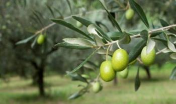 زيادة الكميات المنتجة من الزيتون في الطفيلة إلى أكثر من 50 بالمئة