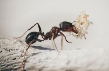 دراسة تفسر علاقة قديمة جدا بين النمل الحفار والبكتيريا