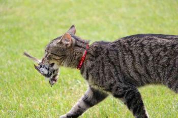 دراسة: القطط المنزلية ماهرة في الصيد وفي التسبب في الأمراض