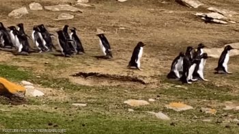 البطريق الحائر ارتكب خطأ غريبا ..  وصديقه يتدخل