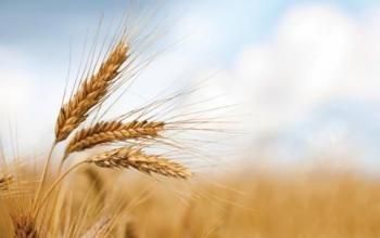 الأردن يطرح مناقصة جديدة لشراء 120 ألف طن من القمح