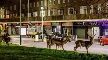 غزلان تجوب شوارع لندن سراً كل ليلة