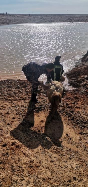 الدفاع المدني ينقذ 97 رأسا من الأغنام (صور)