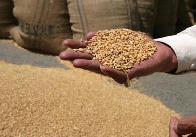 الأردن يطرح مناقصة لشراء 50 ألف طن من القمح