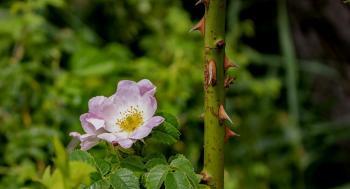 العلماء يتمكنون من إزالة أشواك نباتات على المستوى الجيني