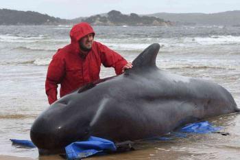 نفوق نحو 380 من الحيتان العالقة في أستراليا