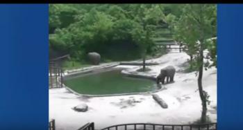 بالفيديو: شاهد كيف أنقذ هذان الفيلان صغيرهما من الغرق