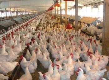 ارتفاع أسعار الدجاج اللاحم 40.2 بالمئة