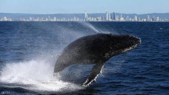 نهاية سعيدة لحوت علق وسط نهر التماسيح بأستراليا