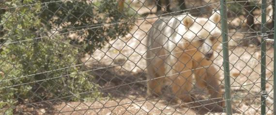 حيوانات حلب حرة في الأردن