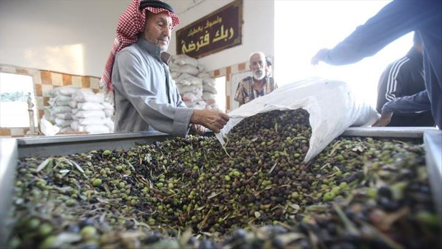 التغير المناخي يعجل موسم قطاف الزيتون في الأردن