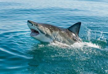 أستراليا ..  وفاة رجل بعد هجوم قاتل من سمكة قرش