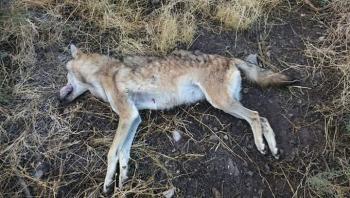 الكرك: مواطن يقتل ذئبًا ويصيب آخر