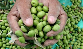 الزراعة تسمح بتصدير 6 آلاف طن زيتون لإسرائيل