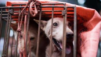 رغم أزمة كورونا ..  انطلاق مهرجان لحوم الكلاب في الصين