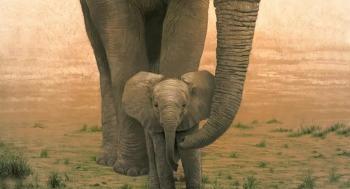 بالفيديو ..  فيل ينقذ صغيره من الغرق بخرطومه