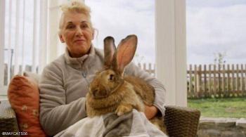 سرقة أضخم أرنب في العالم ..  وهذه مكافأة من يعيده