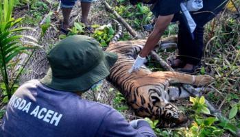 الثاني في اسبوع .. نفوق نمر نادر في إندونيسيا