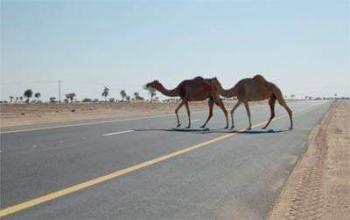 جمال سائبة تتسبب بحادث سير يدمي مواطنا بالعقبة (صور)