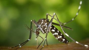 عالم أمريكي: حمى الضنك تنتج مناعة ضد كورونا