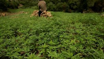 تقنين زراعة الحشيش في المغرب يدخل حيز التنفيذ