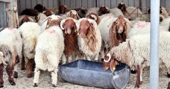وزارة الزراعة ترغب ببيع 41 رأسا من الخراف بالمزاد العلني