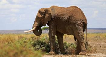فيل يأكل لحاء الأشجار بشراهة في منتزه ..  فيديو