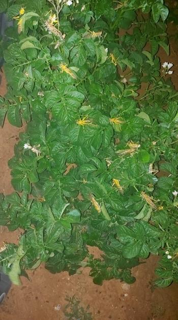 الزراعة: الجراد يصل للمزار وغور الصافي