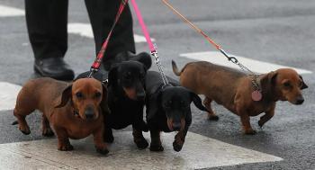 الكلاب قد تساعد في شم كورونا لدى البشر