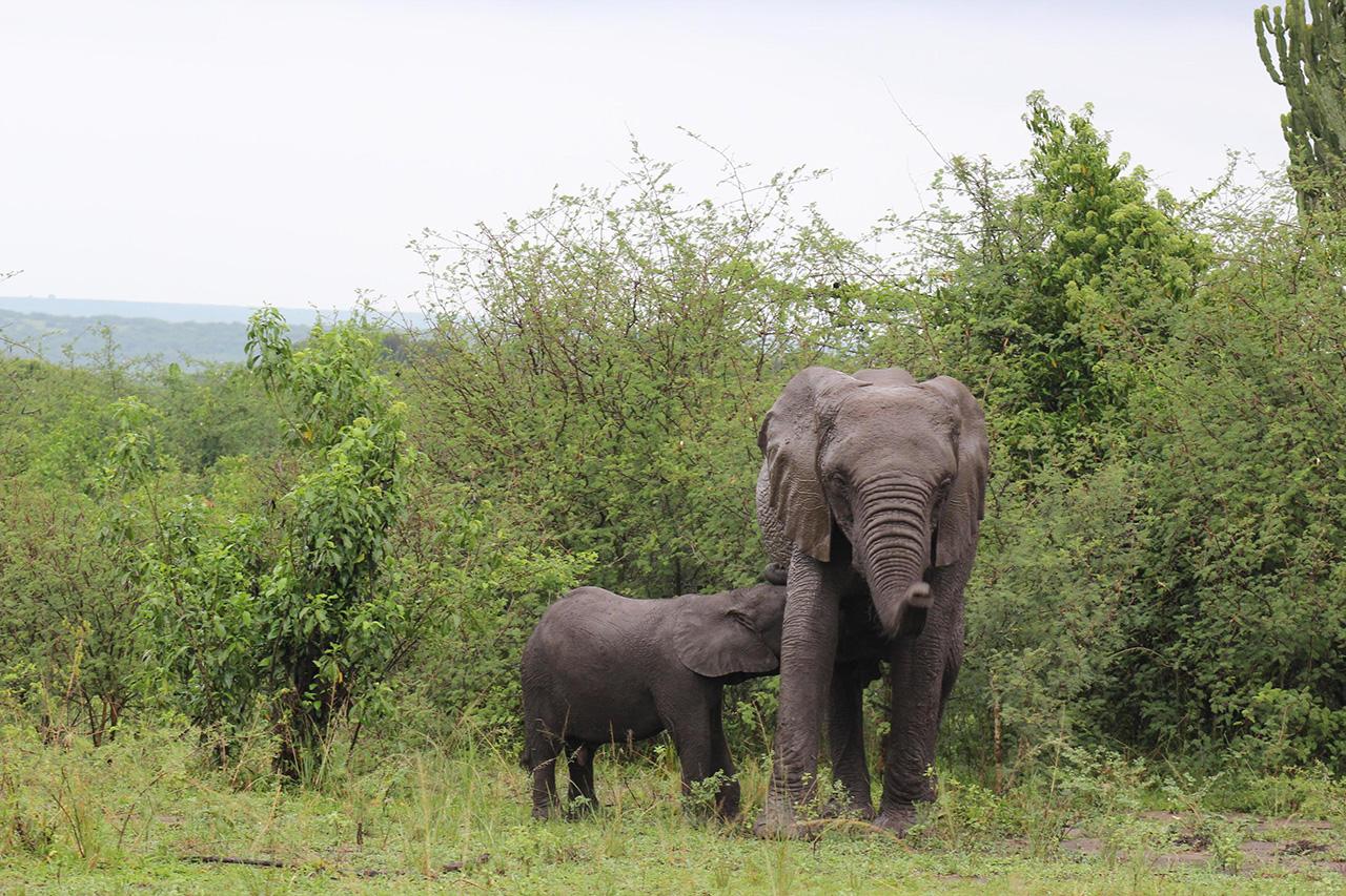 فيلة تتخلف عن قطيعها 500 كيلومتراً لتنتظر صغيراً ابتعد عن المسار