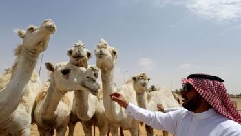 تخصيص يوم عالمي للإبل في السعودية