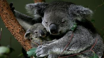 الكوالا أكثر المتضررين من الصيف الأسود في أستراليا