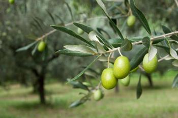 مطلوب تضمين قطاف ثمار الزيتون لمديرية الامن العام