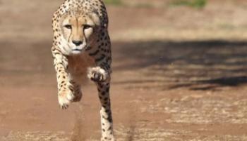 سر تفوق الحيوانات على عدائي الأولمبياد في الركض