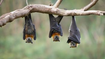 دراسة: 140 نوعا من فيروسات كورونا بالخفافيش لا ترتبط بكوفيد-19