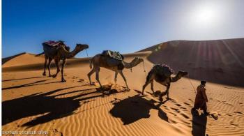 لماذا لا يعطش الجمل العربي؟ ..  دراسة تكشف السر الغامض