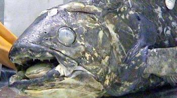 سمكة مذهلة عمرها 100 عام ..  وفترة حملها 5 سنوات