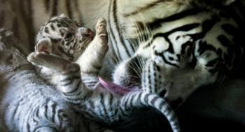 ولادة نمر نادر جدا ..  والبحث عن اسم له