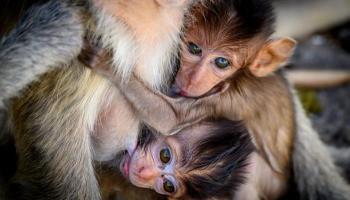 القرود بانتظار استفتاء في سويسرا لانتزاع حقوق أساسية
