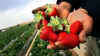 اتهام معامل الفراولة بنشر بؤر كورونا في المغرب