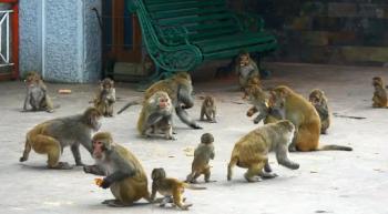 آلاف القردة الجائعة تغزو مدينة هندية وتحدث فوضى عارمة