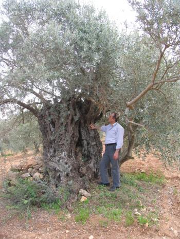 الوطني للبحوث الزراعية يؤكد مركزية نشوء الزيتون في الأردن عبر العصور