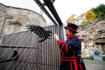 فقدان «ملكة غربان» برج لندن يثير المخاوف