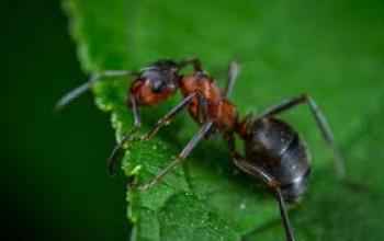 العلماء يدرسون إمكانية التخلص من كورونا بمساعدة النمل